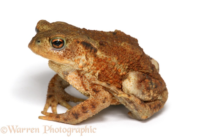 Toad photo WP25863