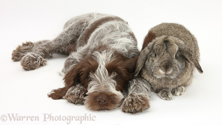 Brown Roan Italian Spinone pup, Riley, 13 weeks old, with agouti Lop rabbit, white background