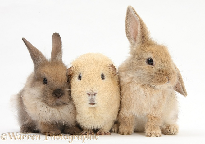 Yellow Guinea pig and baby Sandy Lop rabbits, white background