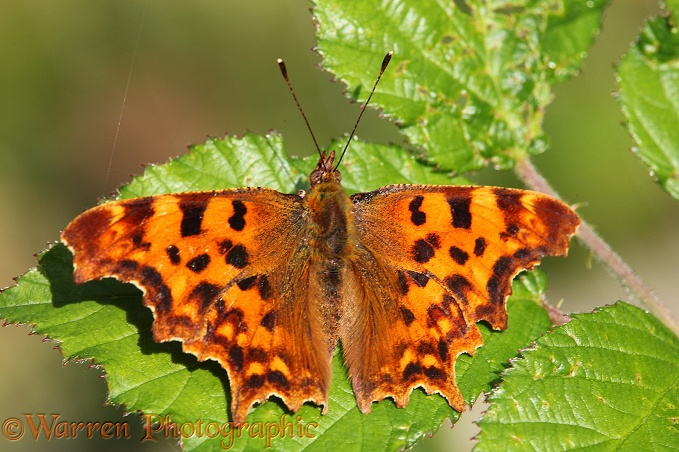 Comma Butterfly (Polygonia c-album) male basking on a bramble leaf