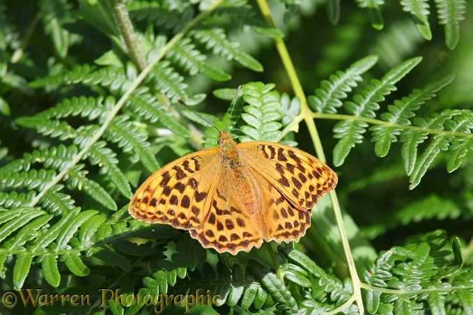 Silver-washed Fritillary (Argynnis paphia) female basking on Bracken (Pteridium aquilinum)