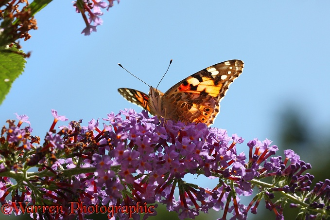 Painted Lady Butterfly (Cynthia cardui) on Buddleia