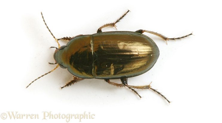 Common Sun Beetle (Amara aenea), white background