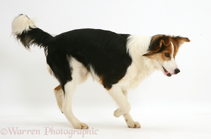 Young tricolour Border Collie pup trotting across, white background