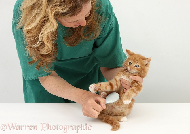 Vet nurse, Miriam, grooming ginger kitten, Butch, 8 weeks old, with a soft brush, white background