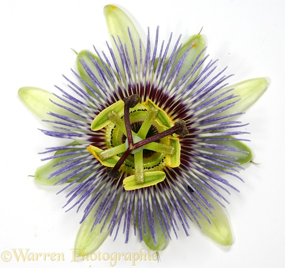 Passion Flower (Passiflora species), white background