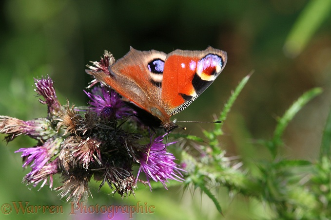Peacock Butterfly (Inachis io) on Marsh Thistle (Circium palustre)