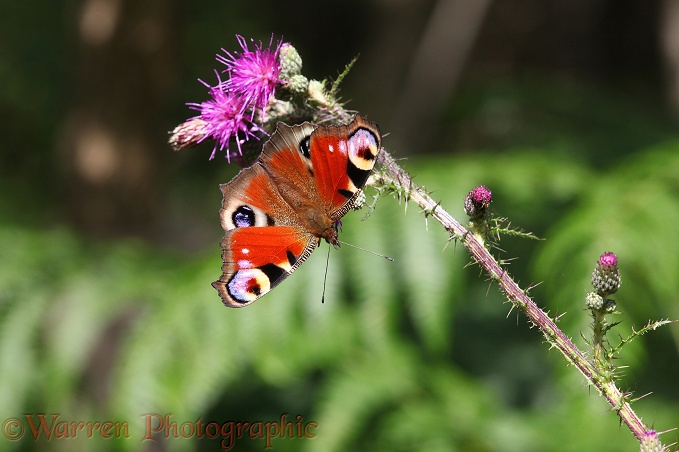 Peacock Butterfly on marsh thistle