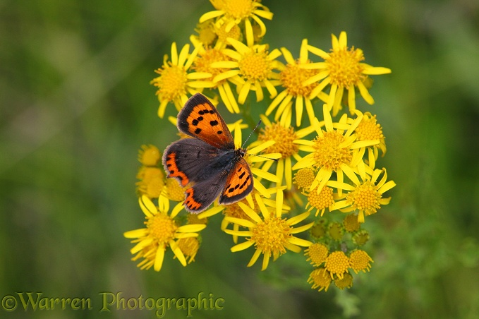Small copper butterfly on ragwort
