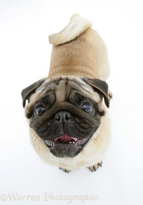 Dog: Fawn Pug looking up photo - WP26023