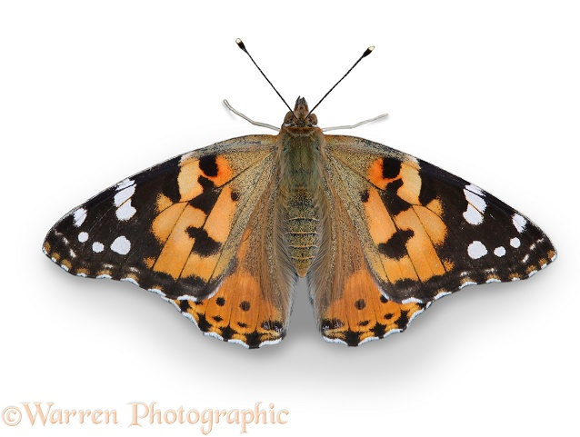 Painted Lady Butterfly (Cynthia cardui), white background