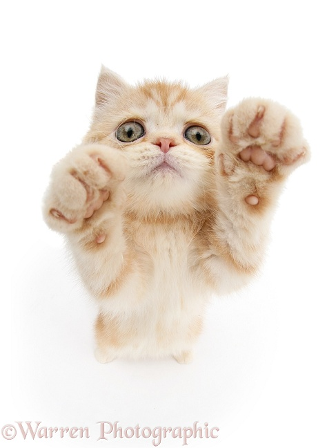 Ginger kitten reaching up, white background