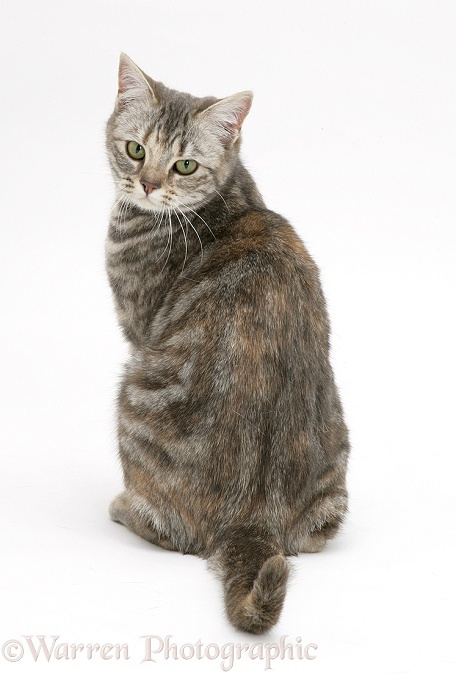 Tabby cat, Cynthia, looking over her shoulder, white background