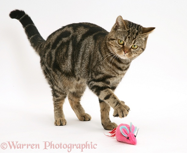 Tabby cat, Tiger Lily, playing with a toy catnip mouse, white background