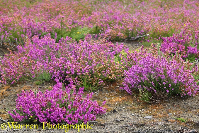 Bell-heather (Erica cinerea) in August