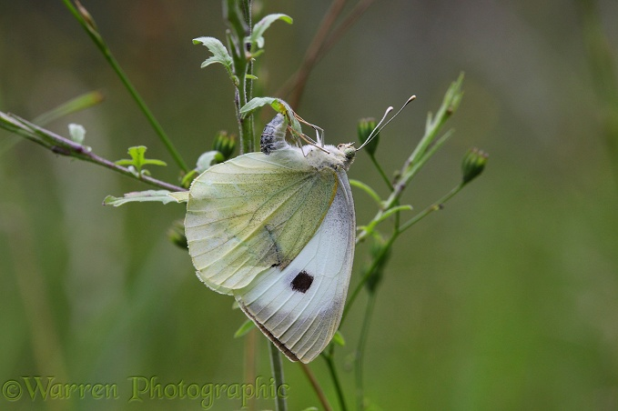 Large White Butterfly egg laying