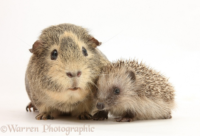 Baby Hedgehog and Guinea pig, white background