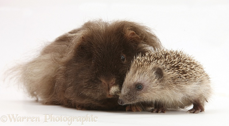 Baby Hedgehog and shaggy Guinea pig, white background