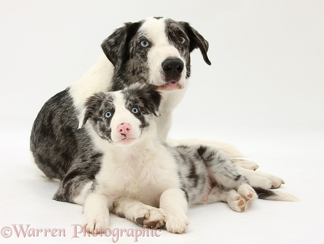 Blue merle Border Collie dog, Logan, and puppy, Reef, 10 weeks old, white background