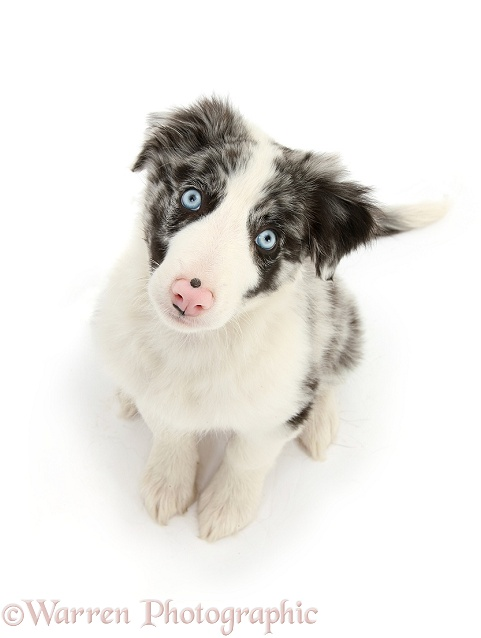 Blue merle Border Collie puppy, Reef, 10 weeks old, looking up, white background