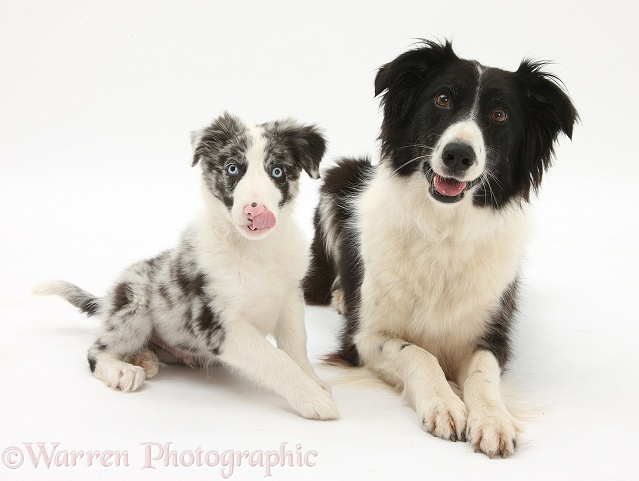 Black-and-white Border Collie, Phoebe, and Blue merle puppy, Reef, 10 weeks old, white background