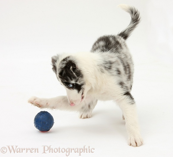 Blue merle Border Collie puppy, Reef, 9 weeks old, playing with a ball, white background