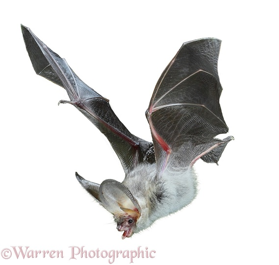 Brown Long-eared Bat (Plecotus auritus) in flight, white background