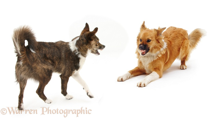 Collie-crosses, Brec and Bliss, exchanging angry snarls. Brec with hackles raised, white background