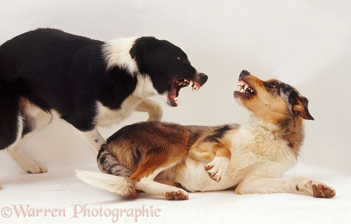 Border Collies, Kai and Phoebus, 9 months old, exchanging angry snarls, white background