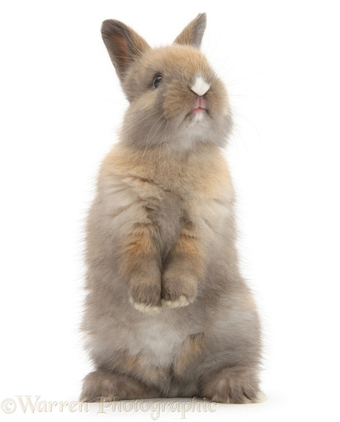 Baby rabbit standing up, white background
