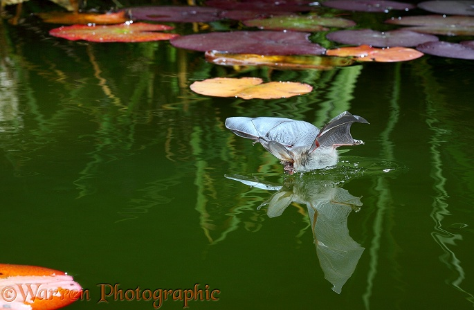 Brown Long-eared Bat (Plecotus auritus) drinking from the surface of a lily pond.  Europe & Asia