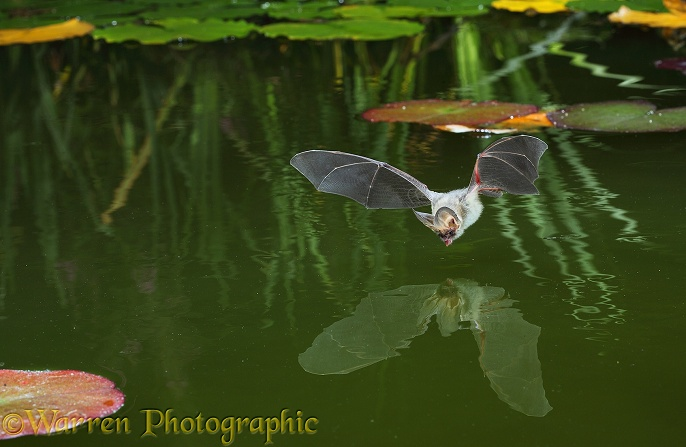 Brown Long-eared Bat (Plecotus auritus) about to drink from the surface of a lily pond.  Europe & Asia