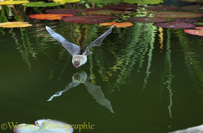 Natterer's Bat (Myotis nattereri) about to drink from the surface of a lily pond.  Europe & Asia