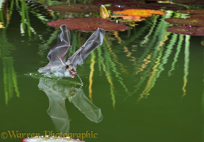 Natterer's Bat (Myotis nattereri) drinking from the surface of a lily pond.  Europe & Asia