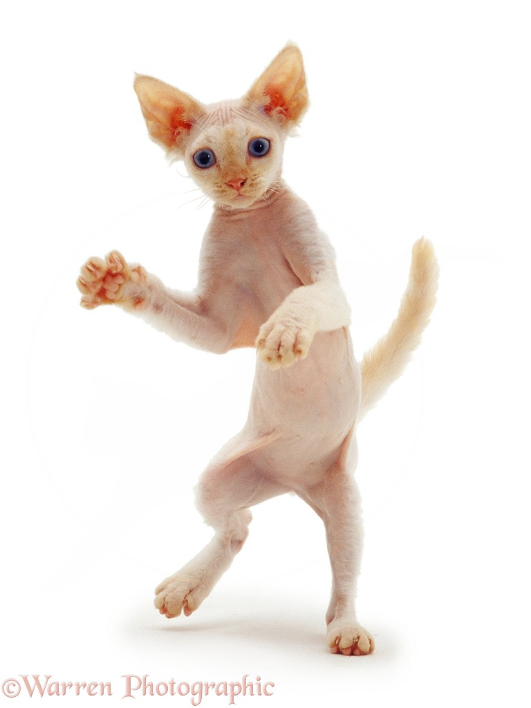 Si-Rex kitten, 16 weeks old, dancing, white background
