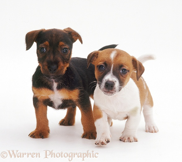 Jack Russell Terrier pups, 6 weeks old, white background