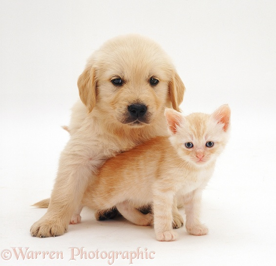 Golden Retriever pup, 6 weeks old, and cream kitten