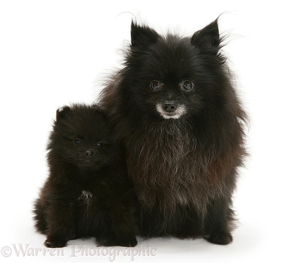 Black Pomeranian mother and pup, white background