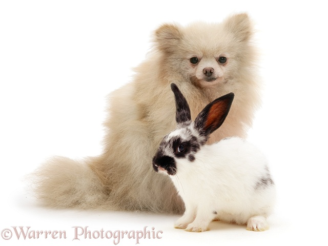 Pomeranian and black-and-white spotted rabbit, white background