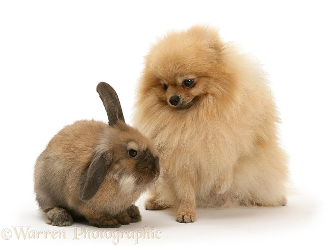 Adult Pomeranian with young Dwarf Lionhead x Lop rabbit, white background