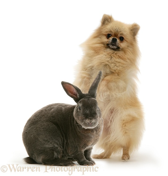 Pomeranian and Blue Rex rabbit, white background