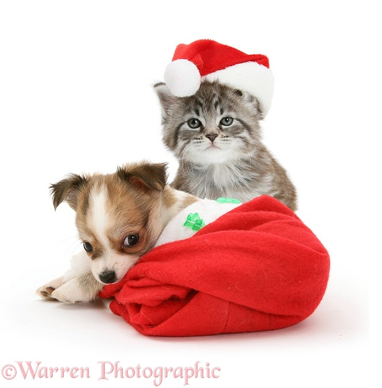 Maine Coon kitten, Goliath, and Chihuahua puppy in Father Christmas hats, white background