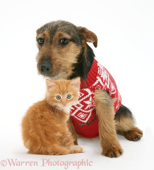 Ginger kitten with black-and-tan Jack Russell Terrier dog, wearing a knitted jersey, white background