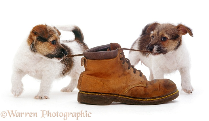 Jack Russell Terrier pups playing with a shoe and pulling the laces, white background