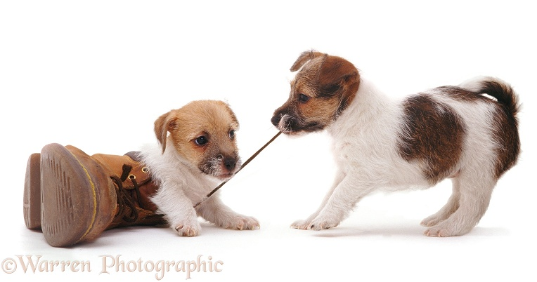 Jack Russell Terrier pups Gina and Geri playing with a shoe and pulling the lace, white background