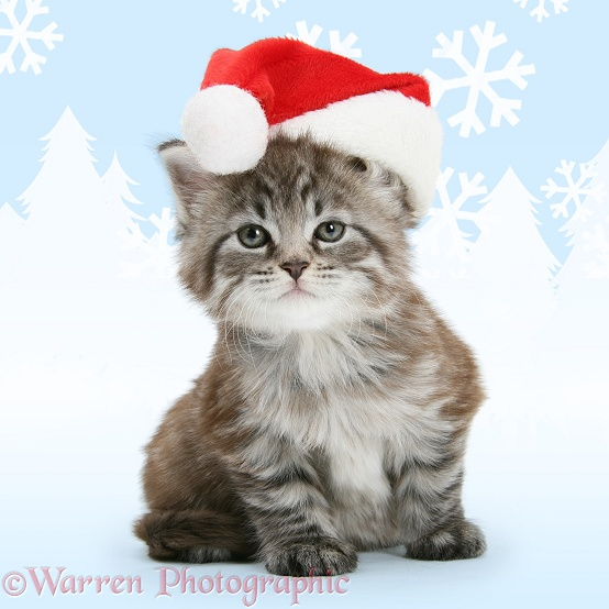 Maine Coon kitten, Goliath, wearing a Father Christmas hat, white background