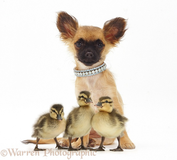 Long-coated Chihuahua bitch and three Mallard ducklings, white background
