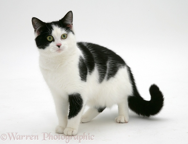 Gray Cat With White Patches And Blue Eyes