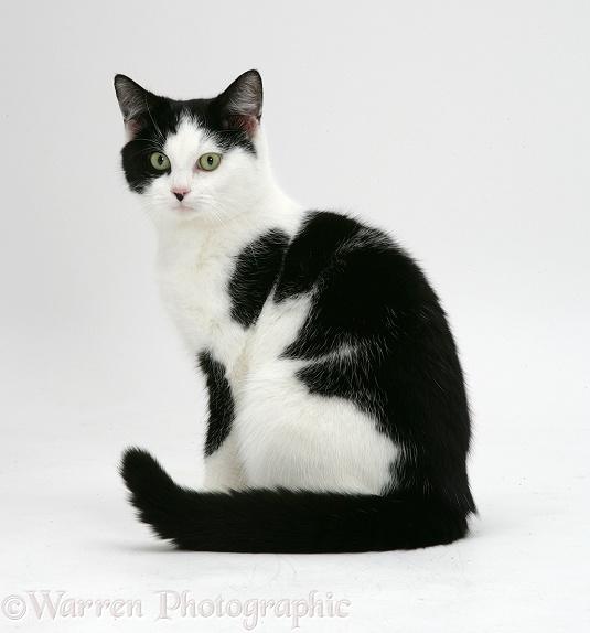 Black And White Cat Breeds Tuxedo