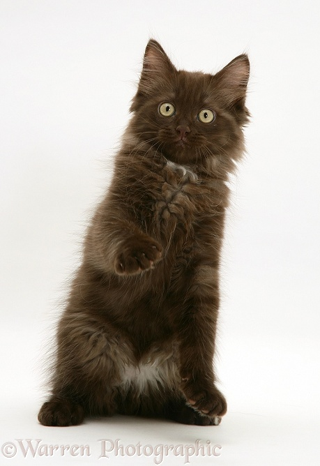 Chocolate Persian-cross kitten with raised paw